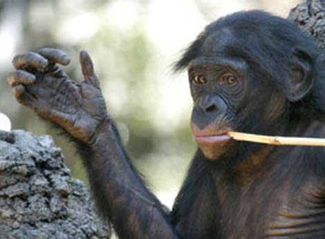 VI - REPORT: Korean researchers discovered the 'Suwon crease', only observed in males! - Page 8 Bonobo-hand-lines