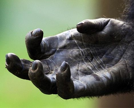 The hand lines of a gorilla.