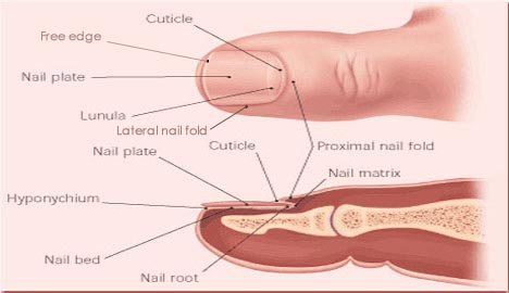 nail unit the eight basic components of include 1 proximal fold 2 cuticle 3 4 plate 5 lateral folds 6 bed tutor step excessive growth morphology na