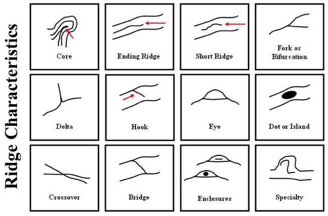 Fingerprint minutiae: ridge characteristics.