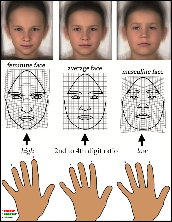 Finger lengths predict facial shape in young boys!