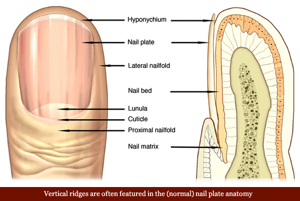 Vertical ridges in the nail plate anatomy.