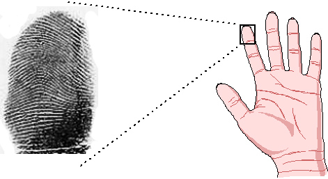 Arch fingerprint on the index finger.
