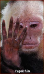 The hand of a capuchin primate!