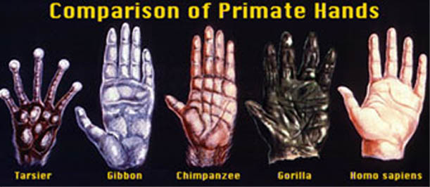 Comparison of primate hands: tarzier - gibbon - chimpanzee - gorilla - homo sapiens.