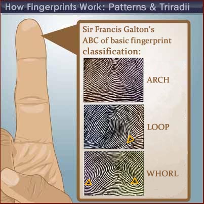 Galton's fingerprint type classification: arch - loop - whorl.