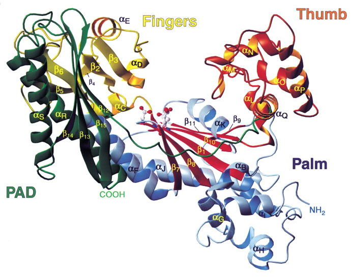 Structure of a DNA polymerase for the hand: palm, finger, thumb & pad.