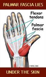 Palmar fascia lies just below the skin