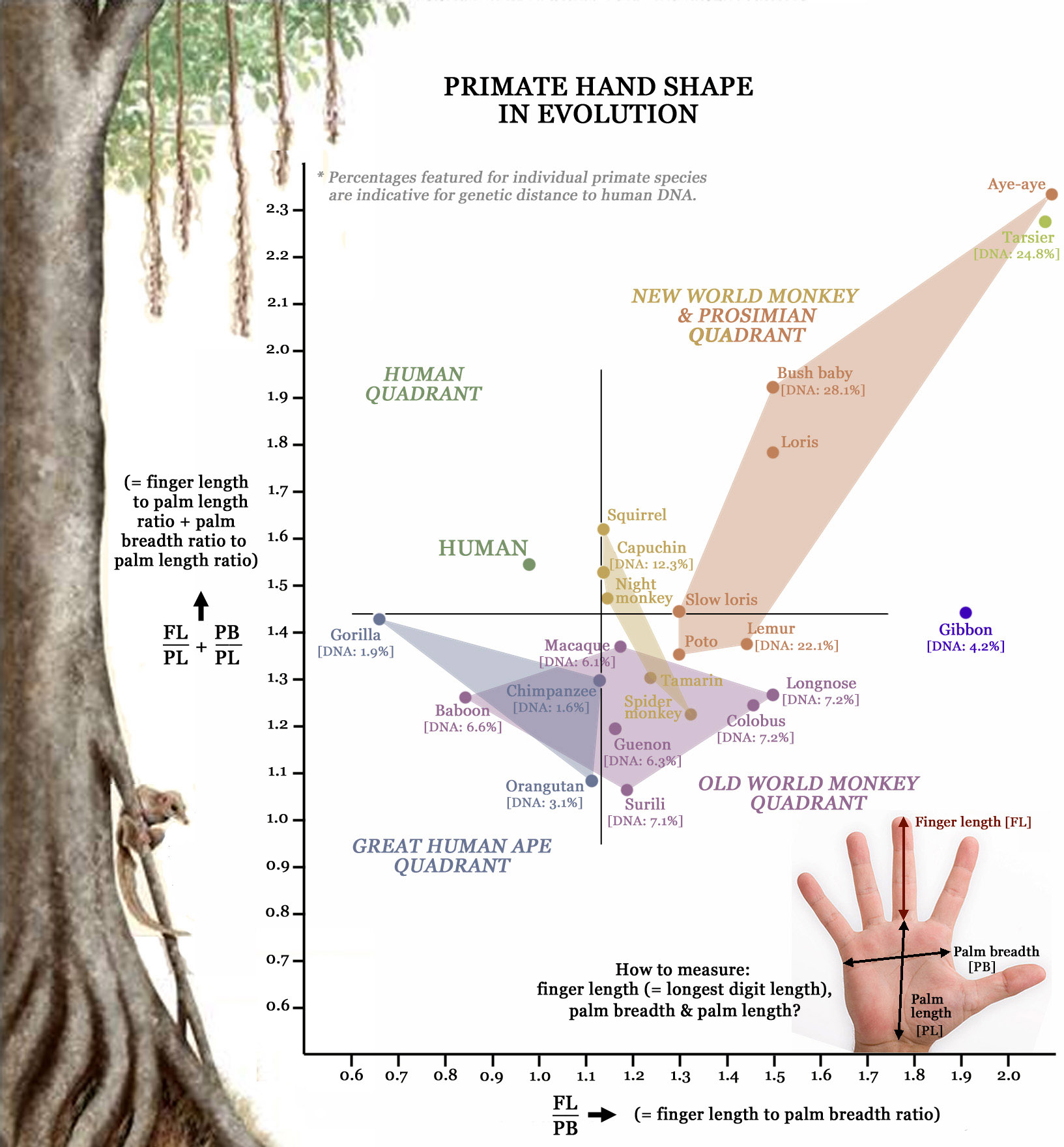Primatology palm reading! Primate-hands-family-tree-hand-shape