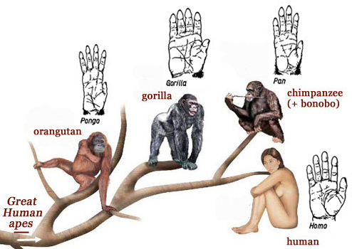 a comparison of primates and modern humans A missing link between humans and their apelike ancestors has been  helping  to fill in a gap in the evolutionary history of modern man.