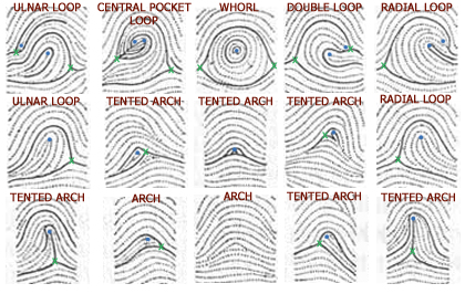 Tented arches beteen radial loops and ulnar loops.  sc 1 st  Hand Research & 10 Facts about Arch Fingerprints! | Arches tented Arches