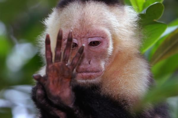 The hand of a white faced Capuchin primate ape.