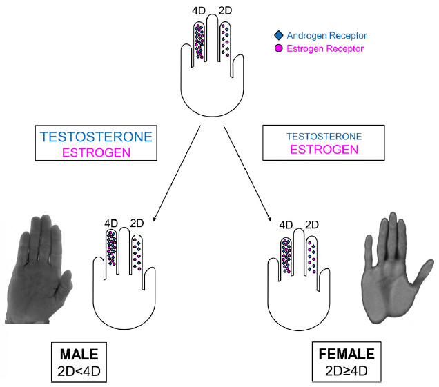2D:4D digit ratio and hormones: the testosterone / estrogen balance.